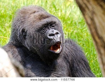 Yawning Gorilla
