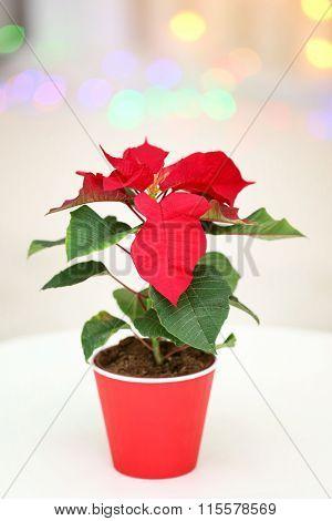 Christmas flower poinsettia in living room, on lights background
