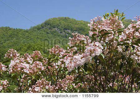 Laurel de montaña
