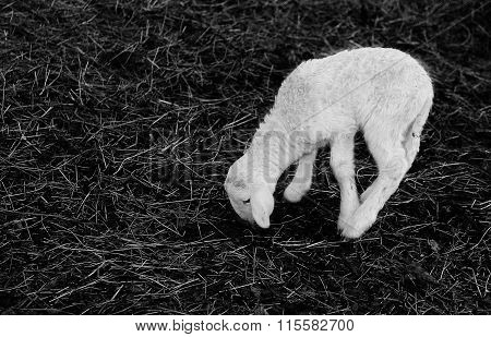 Young White Newborn Lamb Walking With Difficulty