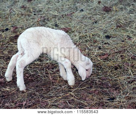 Young Newborn Lamb Walking With Difficulty