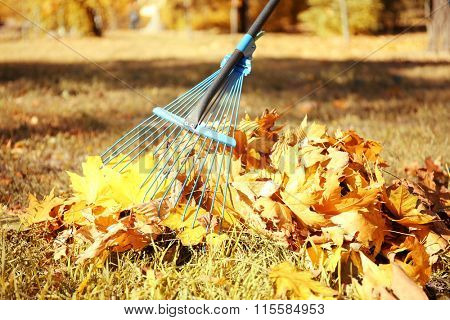 Raking fall leaves with rake