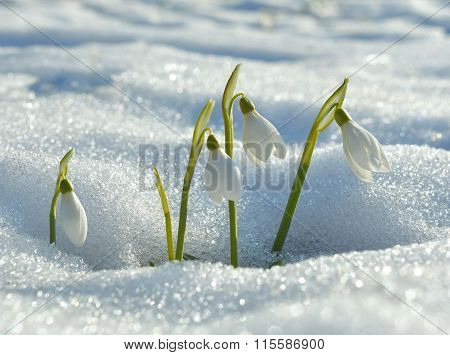 snowdrops flowering from the snow