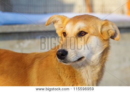 Cute red homeless dog in winter season