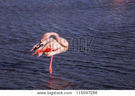 The magnificent pink flamingo in the delta of the Rhone going to sleep. Sunset in the national park of the Camargue, Provence
