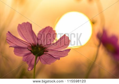 Cosmos Flower And Sunrise Background