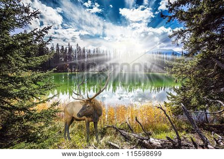 The morning sun brightly lights a landscape. Proud deer antlered worth the early morning on the lake. The lake reflects multi-colored autumn forest
