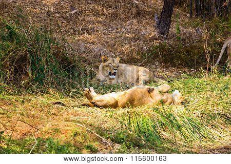 Asiatic Lions.