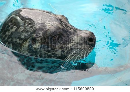 Ringed seal sails in water