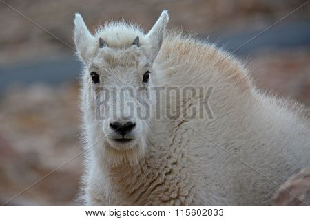 Wild Baby Mountain Goat