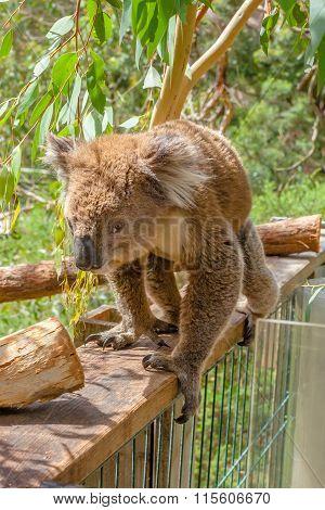 Australian Koala Phillip Island