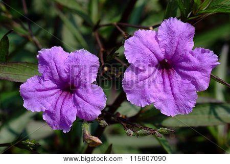 Purple Flowers Or Ruellia Tuberosa Linn