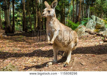 Australian Kangaroo standing