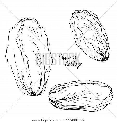 hand drawn chinese cabbage