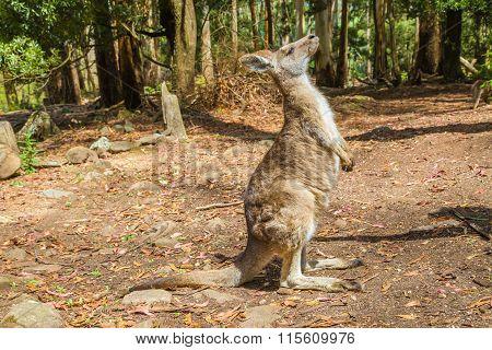 Kangaroo in Trowunna Wildlife Park