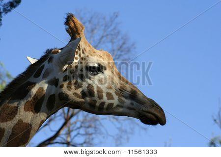 African Giraffe Stare
