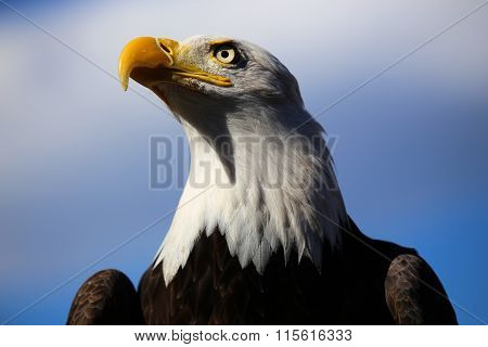 Bald Eagle Profile with Blue Sky