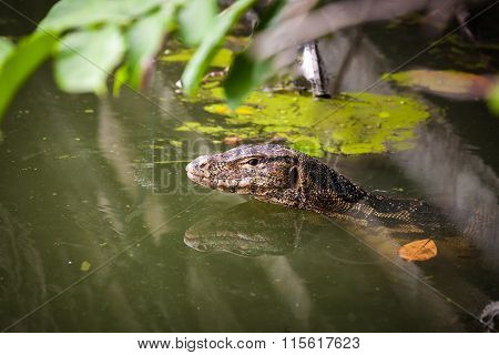 Water Monitor Live Habitat Where Is Water ,lake And River. Outdoor.
