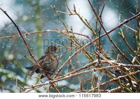 Female Of Common Blackbird