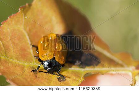 aspen beetle