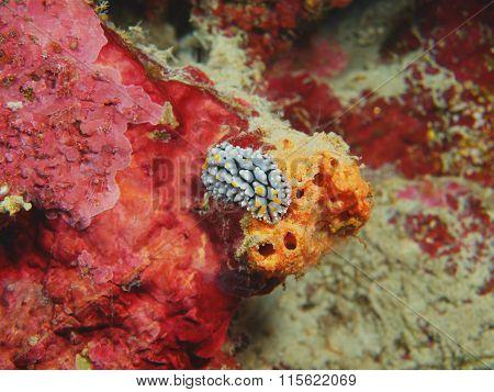 True sea slug, Island Bali, Pemuteran