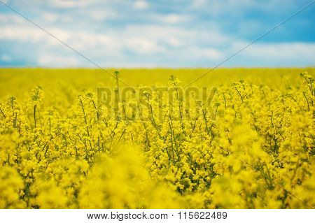 Spring Yellow Field Rapeseed In Bloom And Beautiful Blue Sky.