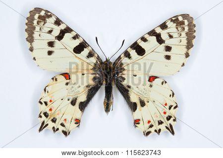 Rare Butterfly, Eastern Festoon; On White