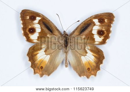 Pseudochazara Amalthea Butterfly On White