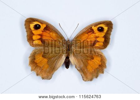 Meadow Brown Maniola Jurtina  Butterfly On White