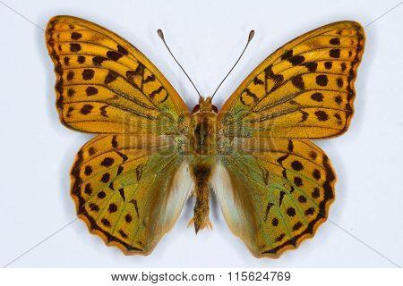 Cardinal, Argynnis Pandora Butterfly