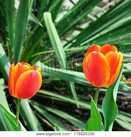 Tulips In The Garden Flowerbed
