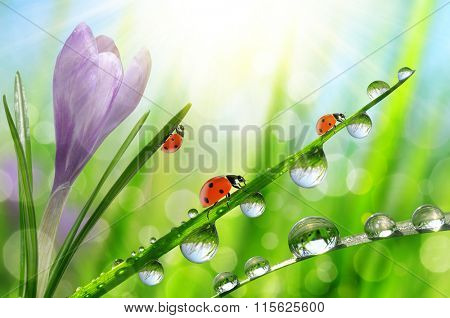 Spring flower Crocus and ladybugs on green grass with dew drops. Nature background.