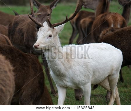Rare white Fallow deer stag.