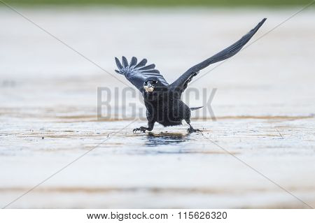 Crow Corvus corone skidding on the ice
