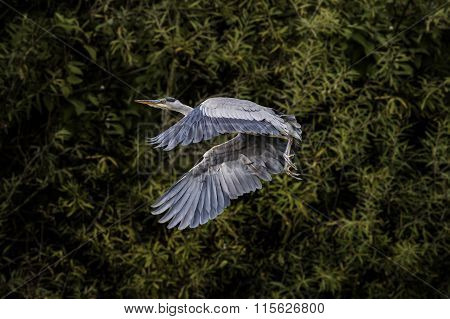 Grey Heron ardea cinerea flying from a tree