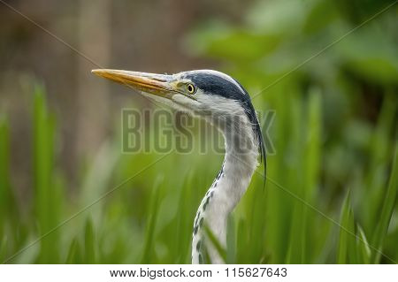 Grey Heron, ardea cinerea, in the reeds portrait