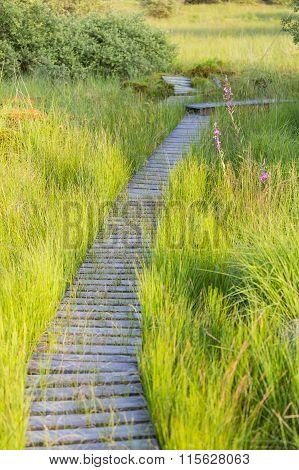 Footpath Through Green Bog Landscape In The High Fens, Belgium