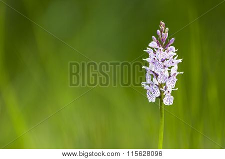 Orchid In The High Fens, Belgium