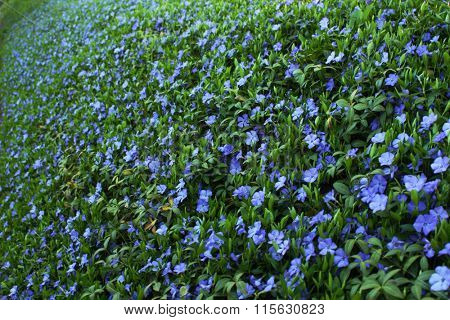 Blue periwinkle flowers on a green slope