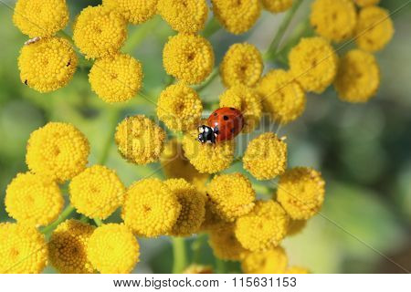 tansy, ladybug