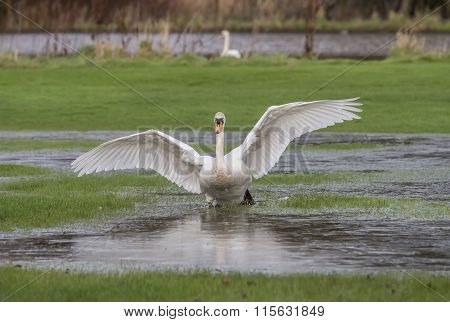 Mute swan Cygnus olor landing in a puddle of water