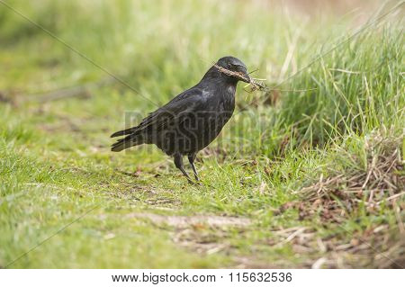 Crow Corvus corone gathering material for nest building