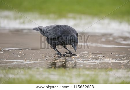 Crow Corvus corone on the ice eating