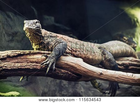 Komodo Dragon (varanus Komodoensis) Portrait, Animal Scene