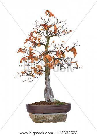 Bonsai - beech red tree with white background (Fagus silvatica Atropurpurea)