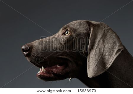Close-up Portrait Weimaraner Dog In Profile View On White Gradient