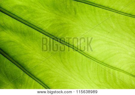 Green Elephant Ear Leaf Plant
