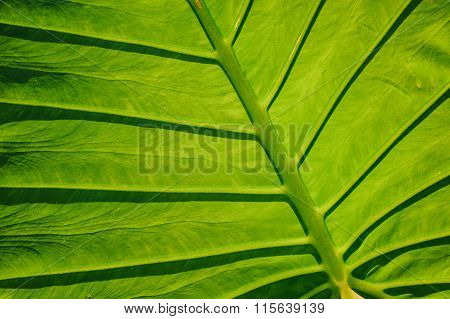 Big Green Tropical Leaf Background - Giant Upright Elephant Ear Close-up