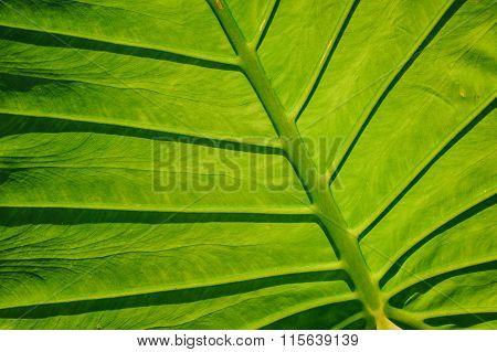 Big Green Tropical Leaf Background - Giant Upright Elephant Ear Close-up