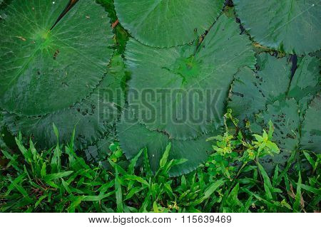 Water Lily Leaf On Boarder With Grass